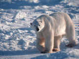 Polar Bear, Manitoba, Canada Photographic Print by D. Robert Franz