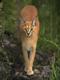 Caracal Photographic Print by David Davis