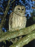 Florida Barred Owl, Strix Varia Georgica Photographic Print by David Davis