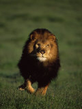 African Lion Walking in Grass Photographic Print by Don Grall