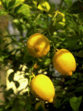 Lemon Tree, Phoenix, Arizona Photographic Print by James Lemass