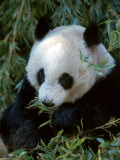 Giant Panda, Ailuropoda Melanoleuca Photographie par D. Robert Franz