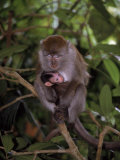 Mother and Baby Long-Tailed Macaque Photographic Print by D. Robert Franz