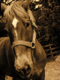 Close-up of Horse, Dry Creek Valley, CA Photographic Print by Jacque Denzer Parker