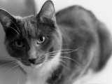 Black and White Image of a Cat Photographic Print by Debra Cohn-Orbach