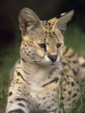 Serval (Felis Serval) Photographic Print by David Davis