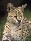 Serval (Felis Serval) Photographic Print by David Davis
