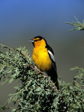 Northern Oriole Photographic Print by D. Robert Franz