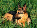 German Shepherd Lying in Grass Photographic Print by Francie Manning