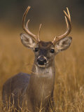 Whitetail Buck in High Grass Photographie par D. Robert Franz