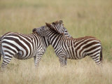 Burchell&#39;s Zebras, Serengeti, Tanzania Photographic Print by Elizabeth DeLaney