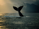 Humpback Whale Tail at Sunset Photographic Print by Stuart Westmorland