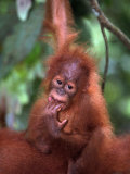 Baby Sumatran Orangutan, Indonesia Photographic Print by D. Robert Franz