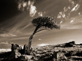 Bristle Cone Pine Tree, Mt. Evans, CO Photographic Print by John Glembin