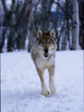 Gray Wolf Running in Snow, Canis Lupus Photographic Print by Lynn M. Stone