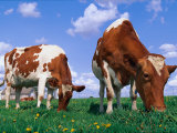 Two Cows Grazing in a Field Photographic Print by Lynn M. Stone