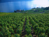 Grape Vineyards, Lake Geneva, Switzerland Photographic Print by Phyllis Picardi