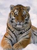 Tigre de Sibérie (Panthera tigris altaica) dans la neige Papier Photo par Lynn M. Stone