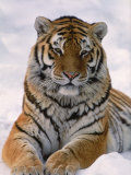 Siberian Tiger in Snow, Panthera Tigris Altaica Fotografisk tryk af Lynn M. Stone