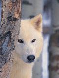 Gray Wolf, Canis Lupus Fotografisk trykk av Lynn M. Stone