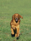 Golden Retriever Running Towards You on Grass Photographic Print by David Davis