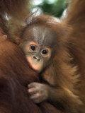 Baby Sumatran Orangutan, Indonesia Fotografisk tryk af D. Robert Franz