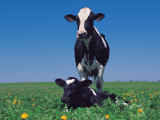 Holstein Cow and Calf, IL Photographic Print by Lynn M. Stone