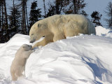 Two Month Old Cub and Mother Polar Bear Photographie par Yvette Cardozo