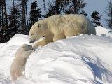 Two Month Old Cub and Mother Polar Bear Fotografisk trykk av Yvette Cardozo