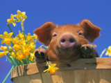 Pig with Daffodils in Bushel Photographic Print by Lynn M. Stone
