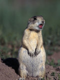 White-Tailed Prairie Dog, Cynomys Gunnsioni, CO Photographic Print by D. Robert Franz