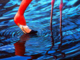 Flamingo, Florida Photographic Print by Pat Canova