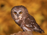Saw-Whet Owl on Tree Stump Photographic Print by Russell Burden