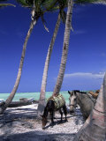 Horses, Playa Juanillo, Dominican Republic Photographic Print by Timothy O'Keefe