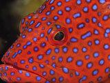 Coral Cod Fotografisk tryk af Stuart Westmorland