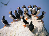 Puffins on Rock at Machias Seal Island Photographic Print by Kindra Clineff