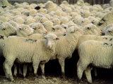 Herd of Sheep Photographic Print by Karen Schulman