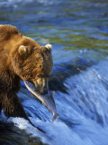 Grizzly Bear with Salmon, Brooks Falls, Katmai, AK Photographic Print by Kyle Krause
