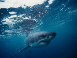 Great White Shark, South Africa Fotografisk tryk af Stuart Westmorland
