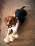 Beagle Dog with His Stuffed Animal Photographic Print by Lonnie Duka
