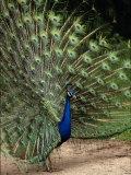 Male Peacock Photographie par Jerry Koontz