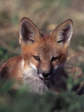 Red Fox Pup, Vulpes Fulva, CO Photographie par D. Robert Franz