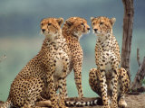 Africa, Cheetah in Kenya, Acinonyx Jubatus Lmina fotogrfica