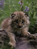 Lynx Kitten in Flowers, Lynx Canadensis Photographic Print by D. Robert Franz