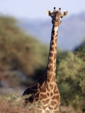 Masai Giraffe, Tarangire National Park, Tanzania Photographic Print by D. Robert Franz