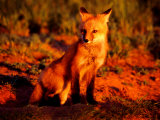 Red Fox at Den at Sunrise Photographic Print by Russell Burden