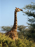 Reticulated Giraffe Eating Acacia, Samburu, Kenya Photographic Print by Michele Burgess
