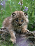 Lynx Kitten, Lynx Canadensis, MT Photographic Print by D. Robert Franz