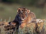 Siberian Tiger Cub, Panthera Tigris Altaica Photographic Print by D. Robert Franz