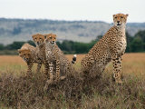 Cheetah &amp; Cubs, Termite Mound, Masai Mara, Keny Fotografie-Druck von Michele Burgess
